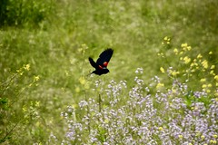 Red Wing (Tripawd) Tags: coyotehillsebparksok birds blooms flowers redwingblackbird blackbird explore
