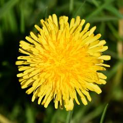 Dandelion (42jph) Tags: flower yellow plant uk england holywell dene northumberland nikon d7200 nature macro closeup close up 105mm f28g edif afs vr micro lens dandelion