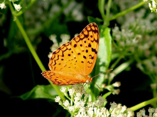 IMG_9953/Thailand/Koh Samui Island/Phalanta Phalantha Phalantha/Common Leopard/