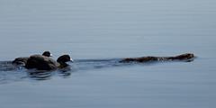 Mink chased by coots (Ham Wall) (Steve Balcombe) Tags: bird coot fulica atra black white mammal american mink neovison vison invasive predator hisssss rspb hamwall avalonmarshes somerset levels uk