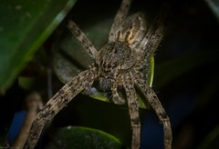 Pisauridae +/- (dustaway) Tags: arthropoda arachnida araneae araneomorphae pisauridae australianspiders bangalow northernrivers northcoast nsw australia nature natur spinne