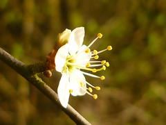 P1160893 (Jörg Paul Kaspari) Tags: schlehe schwarzdorn blüte flower prunus spinosa prunusspinosa
