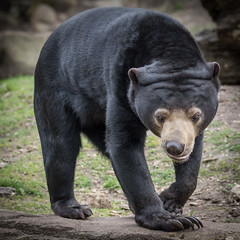 Malaienbär (Matthes S.) Tags: arnhem burgerszoo canon7dmarkii helarctosmalayanus malaienbär natur raubtier sigma150600mm1563dgsports sonnenbär sunbear säugetier tier zoo