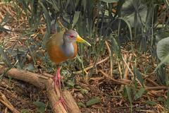 râles de Cayenne - Gray-necked Wood-Rail (heolzo) Tags: oiseau bird wildlife gamboa panama râle grayneckedwoodrail riochagres fleuve chagres faune
