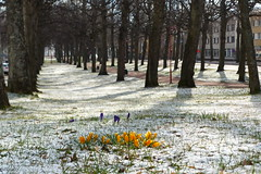 Krokusar i Esplanaden (evisdotter) Tags: krokus crocus flowers blommor spring snow sooc trees esplanaden mariehamn åland