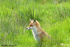 Red Fox (CJT29) Tags: cjt29 hampshire outdoors coast redfox vulpesvulpes titchfieldhaven mammal carnivore
