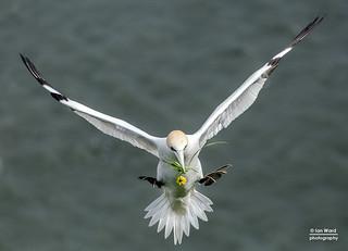 Gannets at Bempton Cliffs, UK