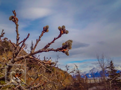 Pussy Willows (fentonphotography) Tags: spring pussywillow alaska plants flora buds