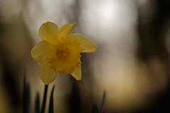Blumen gehen immer (mkniebes) Tags: flower bokeh bokehlicious yellow garden flora nature zeiss makroplanar2100 zf2