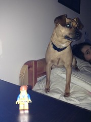Emmett and Chewy (splinky9000) Tags: kingston ontario chewy chihuahua terrier dog pet emmett the lego movie minifigure toys