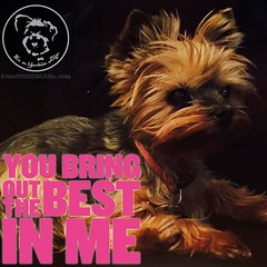 And I'm so glad you do (itsayorkielife) Tags: itsayorkielife yorkie yorkielove yorkiememe yorkshireterrier