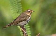 IMG_7635  Swainson's Thrush (ashahmtl) Tags: swainsonsthrush bird thrush songbird catharusustulatus santadeonearmindo pichinchaprovince ecuador