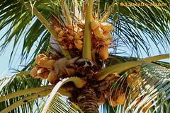 Yellow Coconut dominates the Beaches, El Salvador (ssspnnn) Tags: beach playa elsalvador spnunes snunes nunes spereiranunes canoneos70d cocosnucifera arecaceae arecacea coco coconut fruit