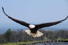 Weißkopfseeadler (reipa59) Tags: baldeagle greifvogel weiskopfseeadler potzberg tierpark rheinlandpfalz