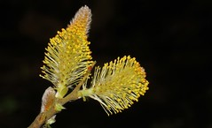 Willow 030417 (3) (Richard Collier - Wildlife and Travel Photography) Tags: flowersenglishflowers flowers wildflowers flora macro macroonblack willow naturethroughthelens