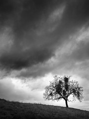 Mockingbird Tree (StefanB) Tags: 1235mm 2017 bw california clouds em5 geotag monochrome outdoor sanjose sky tree treescape almadenquicksilver