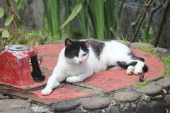 IMG_6085 (Pablo Alvarez Corredera) Tags: gato gata mascota animal vega barros langreo