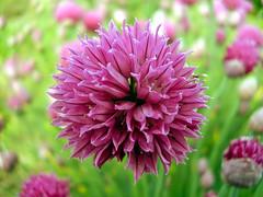 Allium schoenoprasum ´Forescate´; Amaryllidaceae (1) (pflanzenflüsterer) Tags: amaryllidaceae europa asien nordamerika feuchtwiese alpin staude laubwerfend gewürz duft rosa pink 6petals ufer schnittlauch härlen stelle niedersachsen