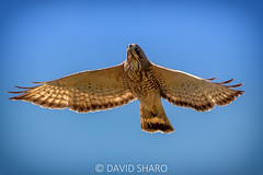 out of the gates (david_sharo) Tags: nature wildlife hawk flight moraine