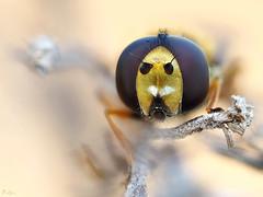 Hoverfly (pen3.de) Tags: penf zuiko 60mmmakro tier insekt fliegenportrait schwebfliege portrait facettenaugen bokeh wildlife natur naturlicht