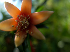 POM STAR (MacroMarcie) Tags: macro pom pomagranate flower stamen bokeh 7dwf hbw bokehwednesday spring