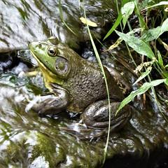 Wheaton, IL, Cantigny Park, Bullfrog (Mary Warren (8.3+ Million Views)) Tags: wheatonil cantignypark nature flora plants green leaves foliage water fauna amphibian frog bullfrog