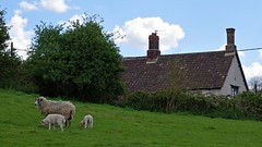 1392-10L (Lozarithm) Tags: comptonbassett wilts pentax zoom k1 28105 hdpdfa28105mmf3556eddcwr sheep