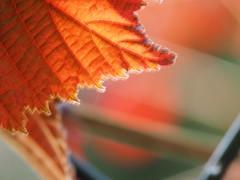 the sun and the wind (michaelmueller410) Tags: blur blurred leaf leaves nut nuts nutbush sun sunny sunlight moving light lightd blurry sonne blatt nuss blätter nussbaum nussbusch