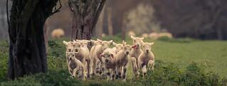 Lamb gang 2 ( explored )