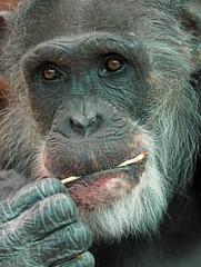 chimpanzee Mike Amerfsoort BB2A0311 (j.a.kok) Tags: mike chimpanzee chimpansee pantroglodytes mensaap ape aap monkey primaat primate amersfoort afrika africa mammal zoogdier