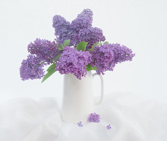 Lilac Blooms (loraine.french57) Tags: lilac blossom blooms jug petals lace softfocusfilter1