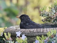 Bath time (David Warrell) Tags: fujixe2 inthegarden closeup blackbird blackbirdwildbirdswildlife wildbirds wildlife northamptionshire uk