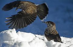 Cassenoix moucheté, neige (fr@nspelsmaekers) Tags: notenkraker spottednutcracker nucifragacaryocatactes cassenoixmoucheté tannenhäher