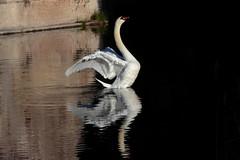 Riflessi... (carlo612001) Tags: beauty swan birds white bellezza cigno bianco riflessi reflexes majestic maestoso luce light ombra shadow wings ali nature natura