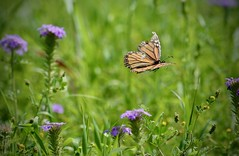 Floating (Kreative Capture) Tags: flight floating insect butterfly queen flying pretty purple verbena spring april texas wings colour nikkor nikon d7100 outdoor outside colours sunlight sunshine natur nature wildflower natural