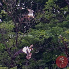 (finalistJPN) Tags: falcon couple pair hunting wildbird birder greatnature naturephoto discoverychannel pleasepurchaseallpictures ppap nationalgeographic lonelyplanet planetearth bbc documentary visitjapan tripjapan stockphoto springintosummer youmightbehappy japanphoto
