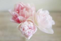 En apesanteur (nathaliedunaigre) Tags: fleurs flowers tulipes douceur softness proxi pastel