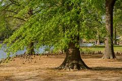 Distant Duck (brev99) Tags: d7100 sigma1770os trees leaves park duck nikviveza nikoutputsharpener topazdenoise soil fullsizejpeg honorheightspark muskogee