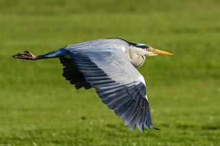 Grey heron in flight (Ardea cinerea)