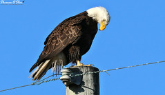 The power and the glory (Shannon Rose O'Shea) Tags: shannonroseoshea shannonosheawildlifephotography shannonoshea shannon baldeagle eagle bird beak feathers wings talons pole powerpole powerlines merrittislandnationalwildliferefuge merrittisland florida flickr wwwflickrcomphotosshannonroseoshea nature wildlife raptor bluesky canon canoneos80d canon80d eos80d 80d canon100400mm14556lisiiusm outdoors yellowfeet power glory outdoor