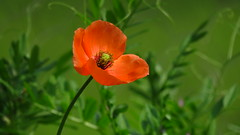 Wild Poppy (Explored 5/2/2017 thank you!!) (Hayseed52) Tags: poppy flower orange green nature floral virginia