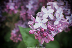 Stages of Lilac (MTD Photos) Tags: bloom blossom flower lilac macro mattdomonkos nature petals pink spring