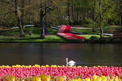 IF8A5946 (cwhilbun) Tags: keukenhof lisse holland netherlands swan tulip outdoor