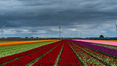 Tulips from Holland-10 (Louis Swart) Tags: tulpen