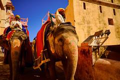 Rush_Hour (Bnavas6) Tags: travel india rajshtan elephant colour fujifilm velvia natura animla animals culture asia fujifilmxseries natgeo natgeotravel