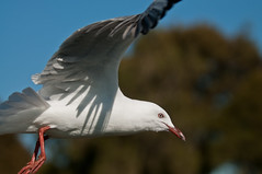 _LSB8494 (Laurie Smith 47) Tags: bird birds seagull gull seabird australianbird silvergull
