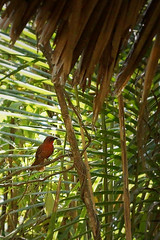 Little Red Fella (moonbird) Tags: bird birds belize caribbean garifuna centralamerica tropicalbirds cockscombbasinwildlifesanctuary stanncreek hopkinsbelize