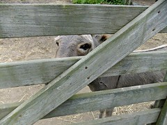 friend (esclave de la mer) Tags: brown white fence mammal eyes gray donkey montauk creature montaukpoint