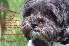 Lilly poem (ronchap3) Tags: dog poem ron lilly chapman lillylillysfurislikesilk lillyseyesarelikeglassmarbles lillysnoseisblack lillysearsarelikefloppyrags lillysmouthhasasmile lillsteethsparkle lillystongueislikeislikepaper lillystailwigglesinthewind lillysfeetlovetorun lillylovestobark canyouguesswhatanimallillyisbyronchapman