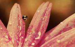 Daisy Drop (Sashjasu) Tags: macro reflection water canon drops drop 100mm dew 7d daisy